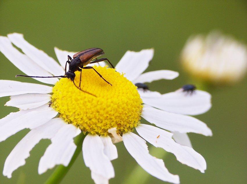 Strangalia czarniawa (Stenurella melanura – Leptura melanura):